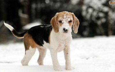 pies-snieg
